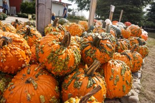 Plenty of pumpkins in all shapes, bumps and sizes!